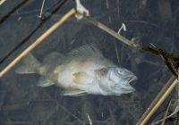 Wie befürchtet: tote Fische