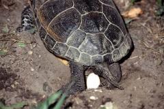 Eiablage der Europäische Sumpfschildkröte