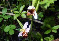 Obere Lobau: seltene Orchidee